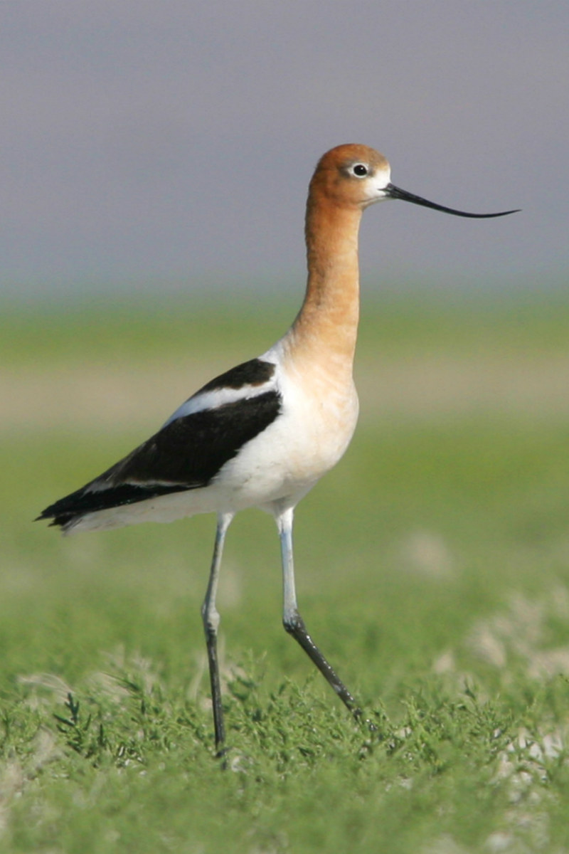 American Avocet bird