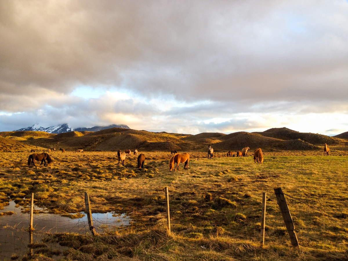 Pasture in Iceland