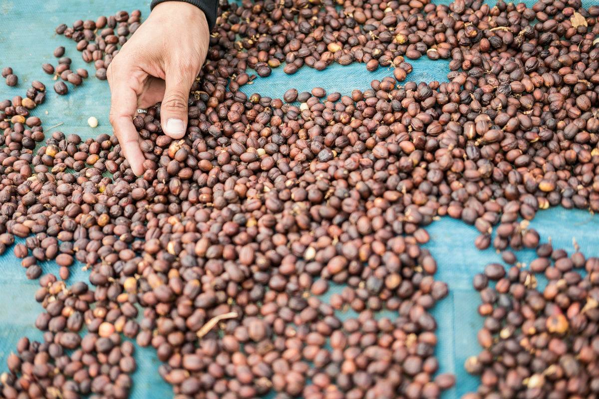 Drying coffee beans in Morocco