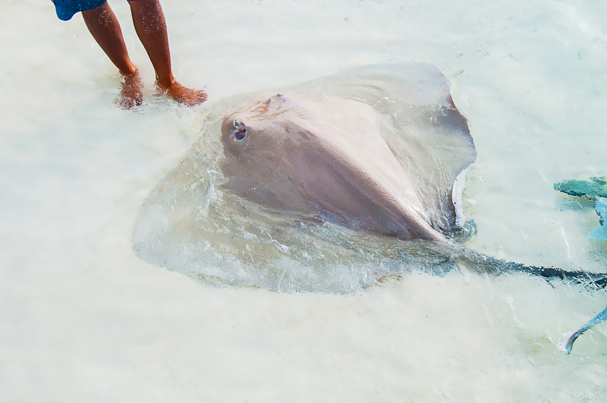 Stingray at Maldives beach