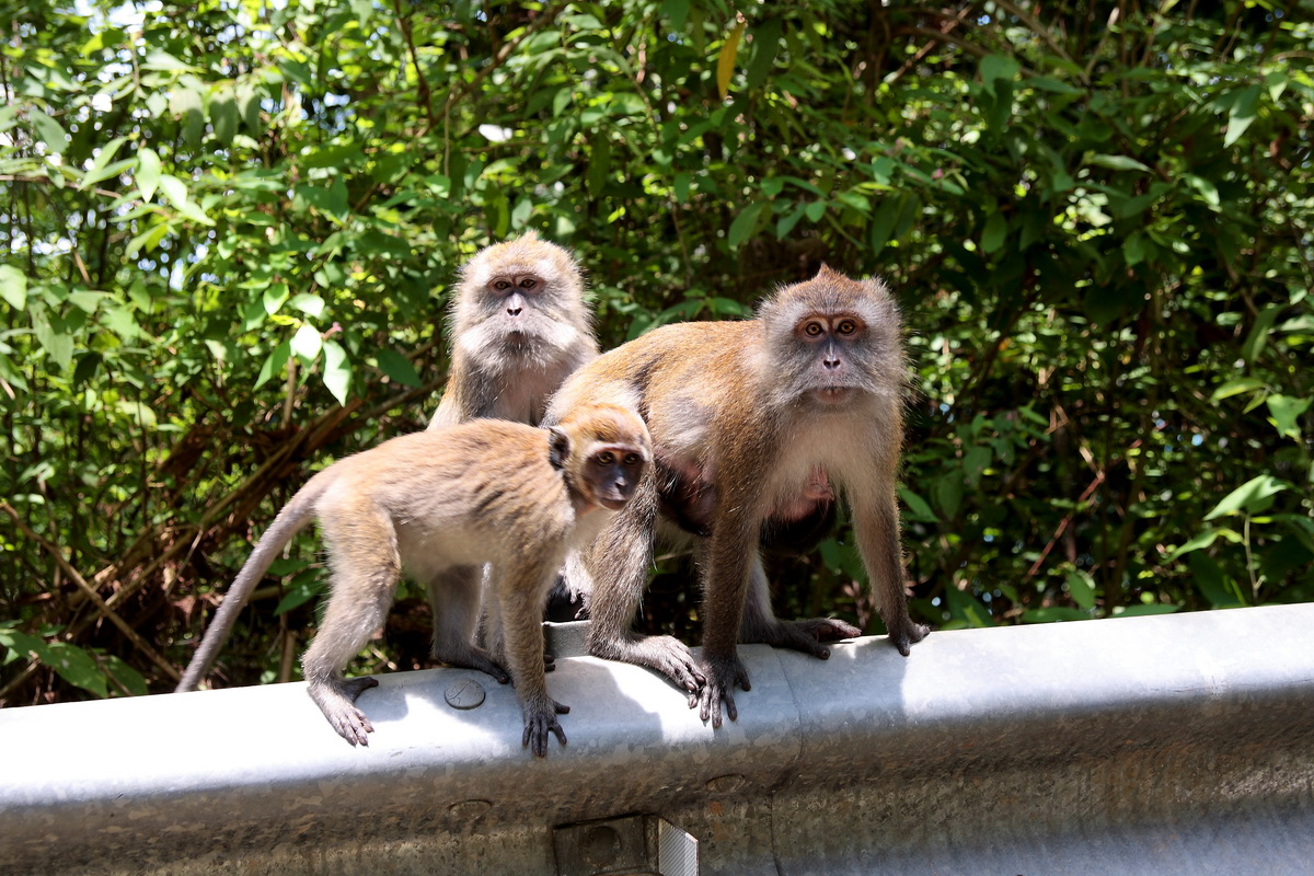 Monkeys trio in Langkawi paradise
