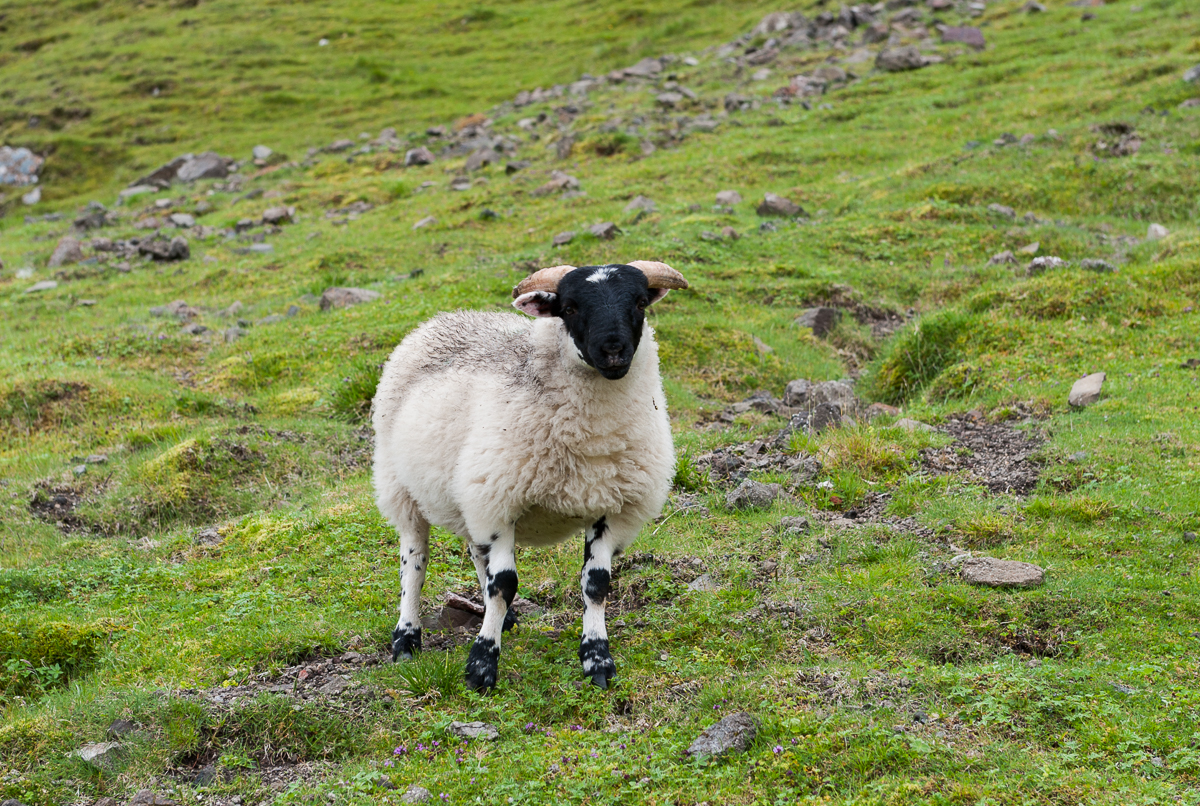 Animals in Quiraing Mountains