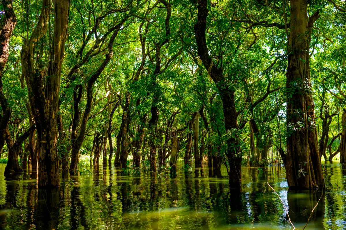 A flooded mangrove forest