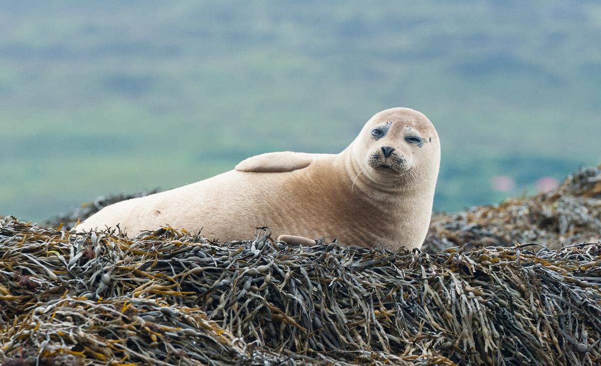 Seal colony on the Isle of Skye