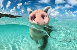 Beaches in the Bahamas: Swimming Pigs and Other Surprises